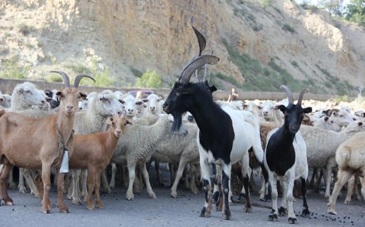 Черные козы впереди белых овец