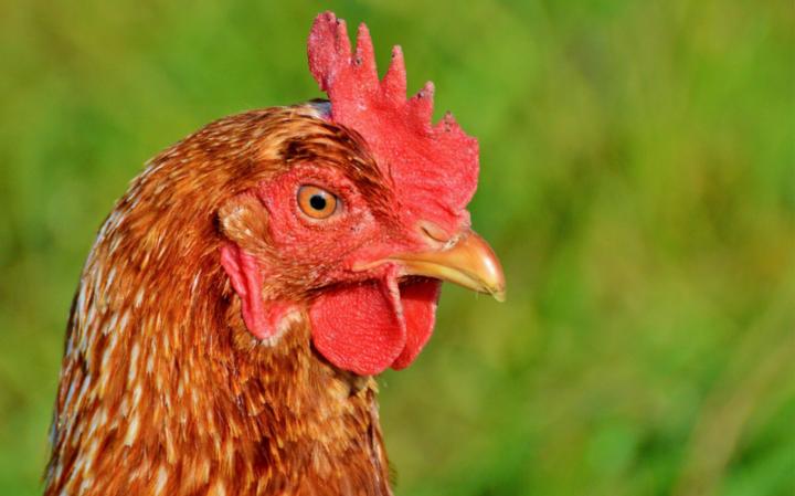 Является ли курица мясом?