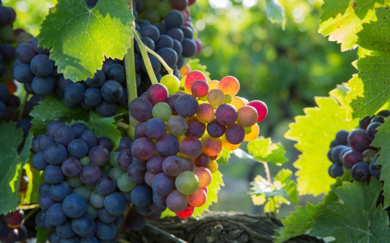 Повесть о виноградной косточке